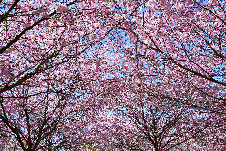 körsbärsträden i hammarby sjöstadkörsbärsträden i hammarby sjöstad