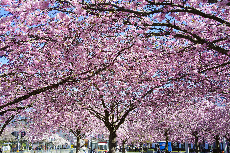 körsbärsträden i hammarby sjöstad