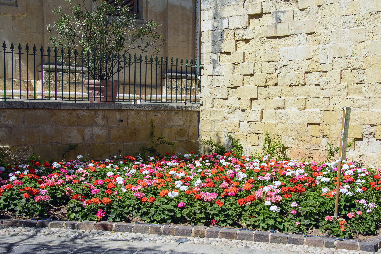 pelargonier valletta upper barrakka gardens