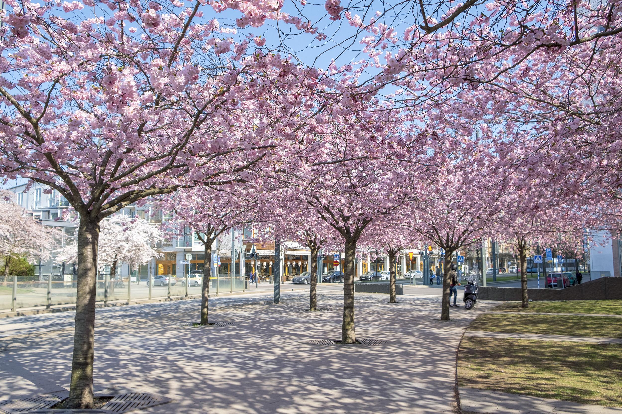 Körsbärsträd Luma Hammarby Sjöstad