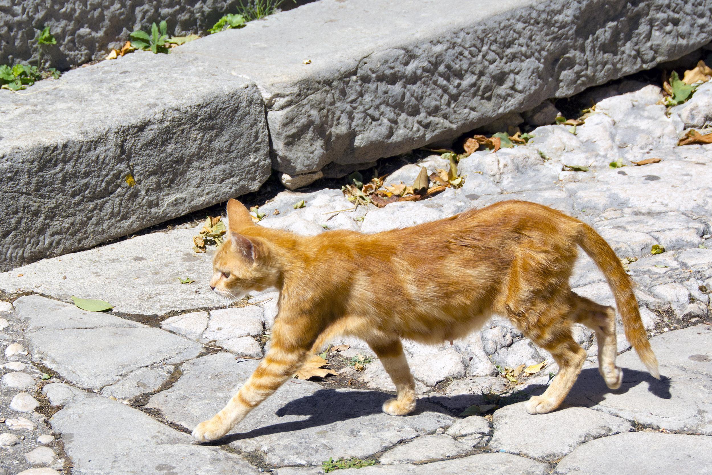Katt på promenad i Labin, Kroatien.