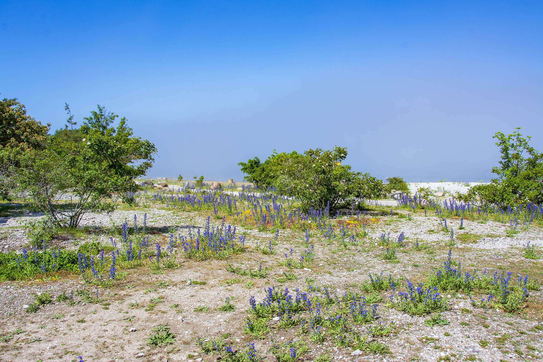 Blå Blommor Gotland