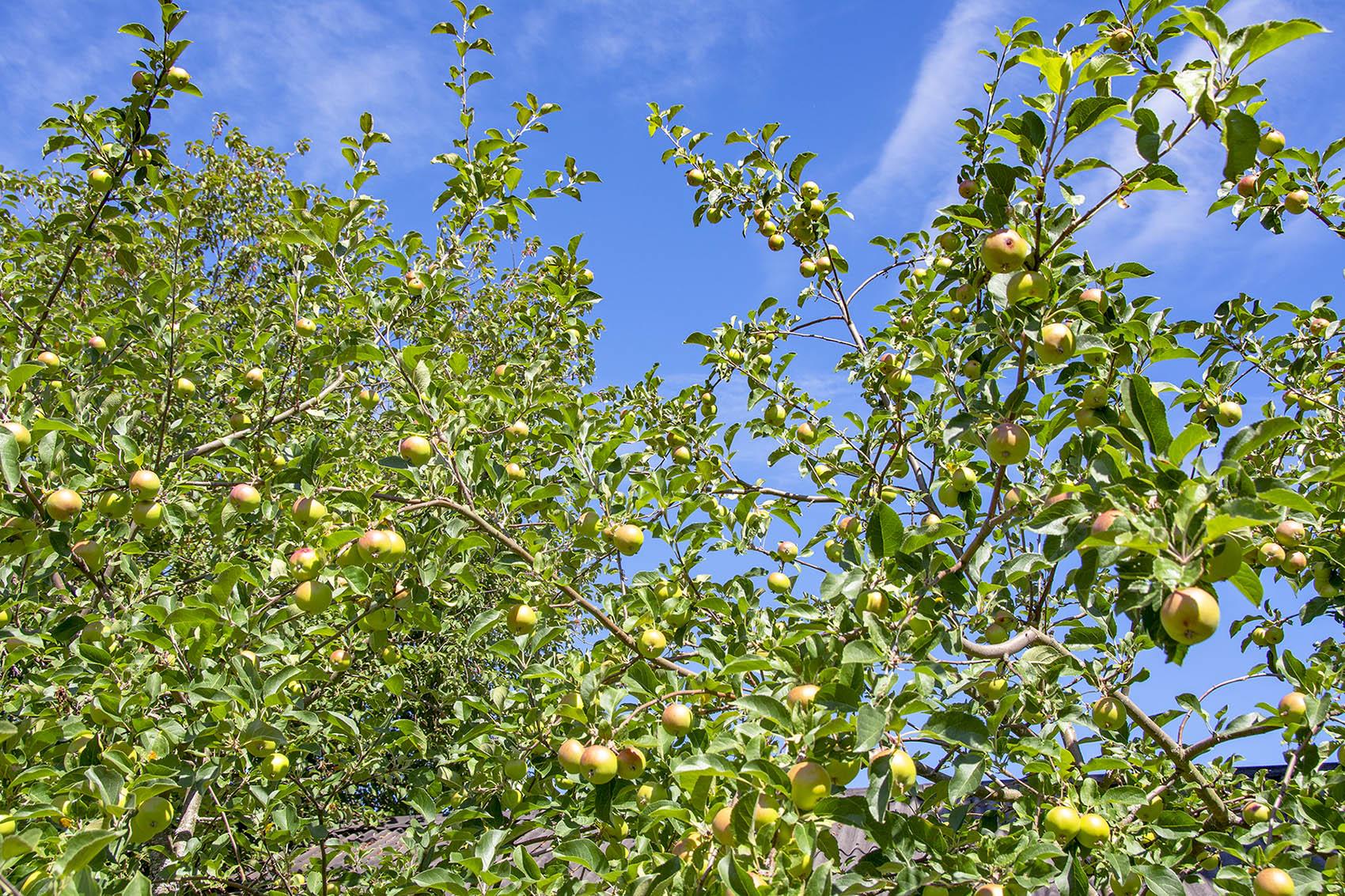 Äppelfabriken Äppelträd