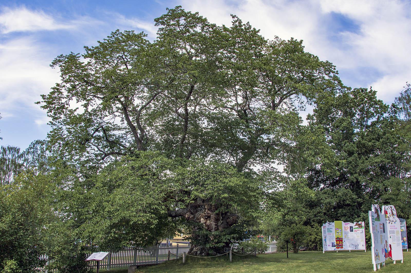 Astrid Lindgrens Näs sockerdricksträdet