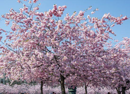 Körsbärsträd i Kungsträdgården